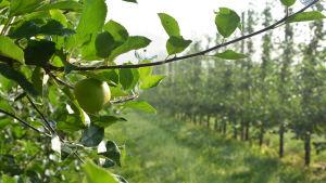 Ett ljusgrönt äppel hänger på en gren. I bakgrunden syns en lång rad med äppelträd.