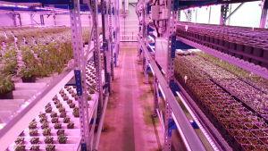 Växthusodling.