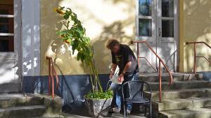 Harri Ahola vattnar solrosor han planterat