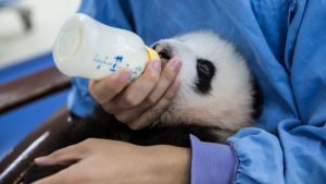 Kiinassa pyritään auttamaan jättiläispandaa tämän rakastetun lajin kamppaillessa sukupuuttoa vastaan.