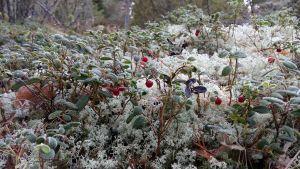 Frostbitna lingon och renlav i skogen.
