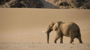 Namibian aavikkojen satoja metrejä korkeita hiekkadyynejä halkovat kuivat jokiuomat ylläpitävät hämmästyttävän monimuotoista elämää.