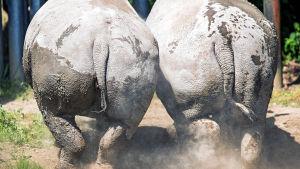 Två noshörningar fotade bakifrån.