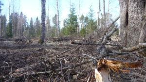 Kvistar och grenar ligger kvar efter att man gallrat skog i Kristinestad.