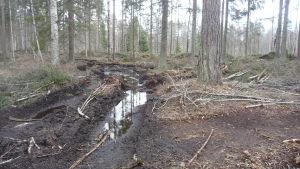 Skogsmaskiner har lämnat djupa spår i terrängen i en skog i Kristinestad.