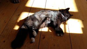 liggande katt