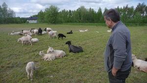 Anders Norrback står och ser på ett tjugotal får.