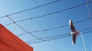 Lokki lentää Kauppatorilla verkon alla