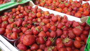 Flera askar med jordgubbar i större låda.