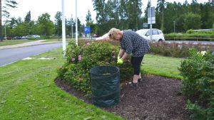 Kvinna böjer sig vid rosenbuske