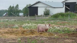 En gris på en ekologisk svingård i Övermark.