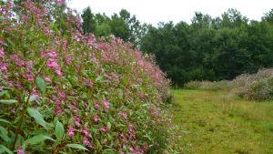 Höga och täta stänglar med rosa blommor