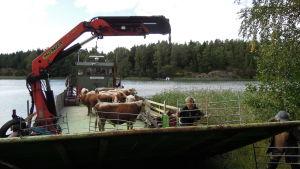 Tjurar åker i väg på en båt, bort från Älgsjölandet i Ingå skärgård.