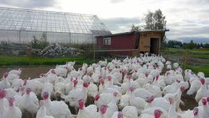 En ständig massa av kalkoner kommer ut ur ett växthus.