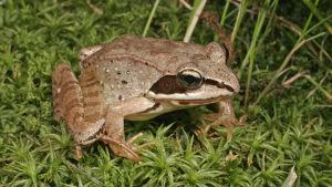 Planeetallamme elää yli 5000 lajia kaiken kokoisia, -värisiä ja -muotoisia sammakoita ja konnia.