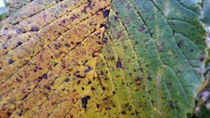 ett gulnat blad i närbild