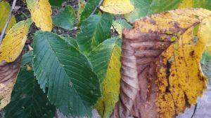gröna gula löv