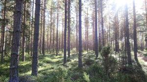 Tallar i en skog