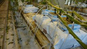 Torvunderlag med stenullskuber på i ett växthus.