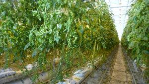 Tomatplantor i ett växthus i Närpes.