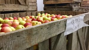 Äpplen ligger och väntar på att bli saft.