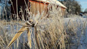 En gammal lada bakom frostiga växter