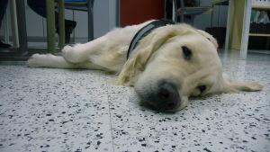 En hund ligger på golvet.