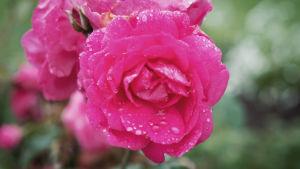 Vesipisaroita ripoteltuna pinkinvärisen ruusun terälehdille.