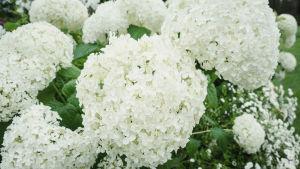 Enorma kluster av små vita blommor.