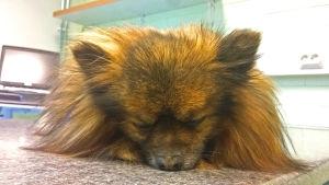 Pieni koira on nukutettuna eläinlääkärin hoitopöydällä.