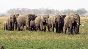 Suurimmatkaan luonnonpuistot eivät enää tarjoa tarpeeksi tilaa eläinten luontaiselle vaellukselle.