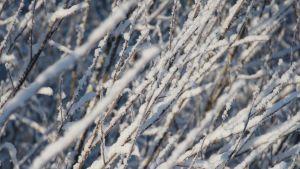 Snöiga kvistar.