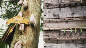 Argema mittrei, jättiriikinkukkokehrääjä perhonen istuu puunrungolla koteloitten ympäröimänä.