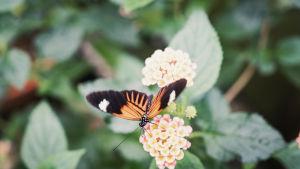 Heliconius melpomene, tummakaposiipi perhonen kukkasen päällä.