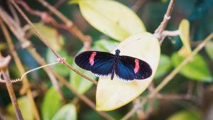 Heliconius melpomene, tummakaposiipi perhonen istuu lehden päällä.