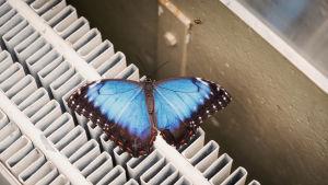 Morpho peleides, mayataivaansiipi perhonen joka istuu patterin päällä.