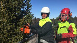 Taisto Jaakola från Luke och Tommi Kåla från Karleby tar skott av granen.