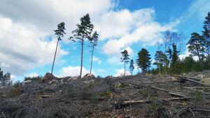 Hakattu metsä.