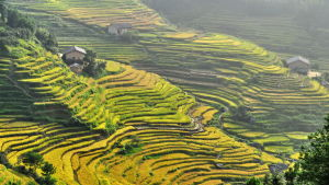 Risodling i Kina.