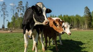Kolme lehmää tuijottaa rivissä laitumella