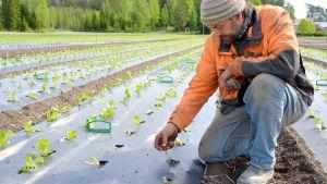 Jordbrukaren Christer Finne tittar på sina salladsplantor.