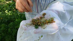 en hand med pincett peter i en hög med växter och insekter i en vit håv