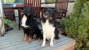 Två hundar som sitter på en terass.