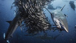 Haiden täydellinen sopeutuminen eri ympäristöihin on auttanut niitä kehittymään menestyviksi saalistajiksi.