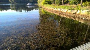 En sjö med mycket sjögräs i.