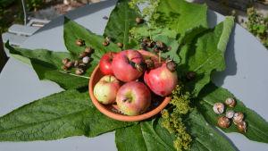 Snäckor krälar över ett fat med äppel.