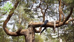Ihminen makoilee puunoksalla.