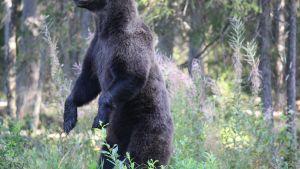 Karhu, jonka pää ei mahtunut kuvaan