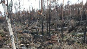 Brända träd ligger huller om buller i skogen.