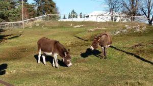 Två åsnor på grönbete i en hage.